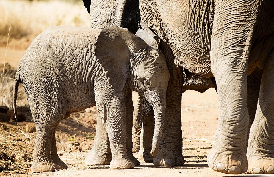Large Wildlife Tusk Africa Elephant Safari Trunk