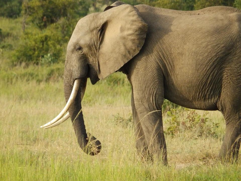 Wildlife Elephant Africa Safari Wild Tusk Mammal